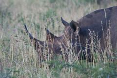 Black rhino in Phinda (Reis. In stijl.) Tags: nature southafrica wildlife safari rhino blackrhino kwazulunatal forestlodge phinda zuidafrika zwarteneushoorn