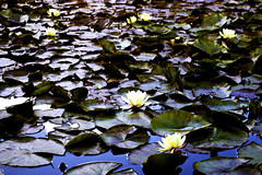 Ruffled Pads (miles.) Tags: lake water lily waterlilies pads