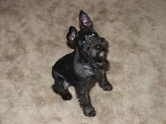 Dobby the Miniature Schnauzer