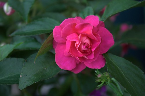 Pink Double Impatiens by Judes Jewels