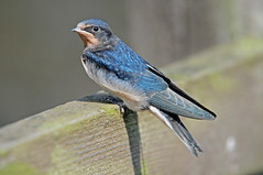 Young Swallow, Hirundo rustica, on a Wooden Fence Rail (Steve Greaves) Tags: wood blue summer bird nature fence countryside wooden bokeh wildlife feathers young aves naturalhistory fencing perched resting swallow barnswallow juvenile avian fledgling irridescent hirundorustica plumage 2xteleconverter irridescence nikond300 globalbirdtrekkers nikonafsii400mmf28ifedlens manfrottomonopod680b