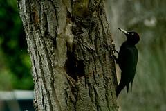 Black Woodpecker, female (ignicapillus) Tags: bird birding aves birdwatching blackwoodpecker dryocopusmartius picidae picchionero