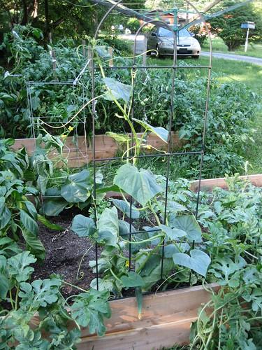More Climbing Cucumbers