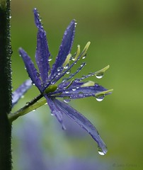 Yesterday when it was wet and cold..... (joeke pieters) Tags: blue flower reflections garden droplets drops bokeh ngc tuin camassia ahqmacro awesomeblossoms platinumpeaceaward silveramazingdetails photographyforrecreation