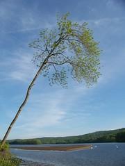 Leaning tree (hickamorehackamore) Tags: statepark tree river connecticut ct sandbar swans lowtide ctriver connecticutriver haddam haddammeadows
