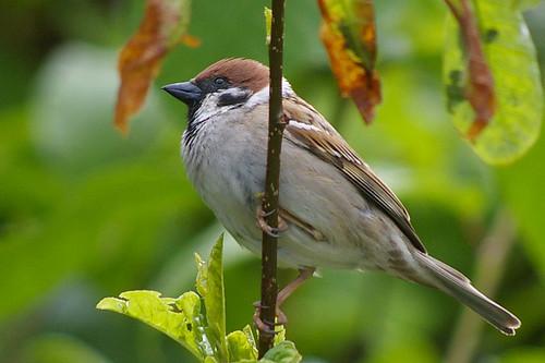 Tree Sparrow 6