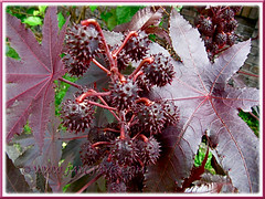 Ricinus communis, an ornamental cultivar with reddish-purple leaves and seedpods (jayjayc) Tags: plants maroon foliage malaysia kualalumpur seedpods shrubs neighbourhood castorbean castoroilplant ricinuscommunis reddishpurple palmateleaves jayjayc