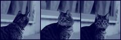 (Kelly Hyde) Tags: cat kitty 猫 ねこ kedi notmycat catspotting thebiggestgroupwithonlycats