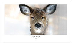 The Young! (Imapix) Tags: winter canada art ice nature animal canon photography photo foto photographie image quebec hiver deer qubec chevreuil imapix whitetaildeer gaetanbourque specanimal imapixphotography gatanbourquephotography