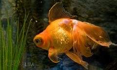 (6) nakaliskisang goldfish - 01.06.09