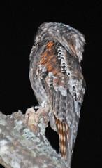 WMex09_D-40-0256a (jerryoldenettel) Tags: bird mexico nayarit 2009 sanblas nightjar potoo northernpotoo nyctibius nyctibiusjamaicensis caprimulgid caprimulgiformes nyctibiidae singayta