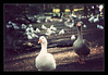De oca en oca (Jashir) Tags: parque canon vintage 350d spain gijón asturias canoneos350d oca ganso asturies isabellacatólica canonefs55250mmf456is