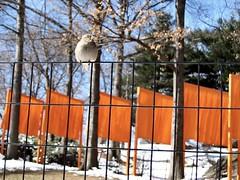 IMG_0045 (DutchAstrid) Tags: new york nyc newyorkcity orange newyork art gates centralpark sparrow saffron christo gatesmemory