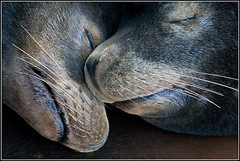 Sleeping California Sea Lions 2 ( !@) Tags: ocean sleeping art snuggle togetherness marine peace wildlife stock serenity cuddle nuzzle animalia mammalia californiasealion carnivora zalophuscalifornianus chordata otariidae pinnipedia otariinae