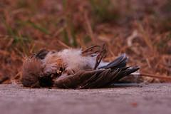 Crash (geyergus) Tags: rot bird rotting dead death interesting feather decomposition decomposed maggot