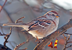 Earlybird Sparrow (Tony Tanoury) Tags: sunrise michigan sparrow americantreesparrow spizellaarborea treesparrow earlybird supershot specanimal abigfave goldstaraward