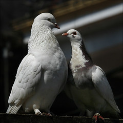 Do you still love me? (NaPix -- (Time out)) Tags: white bird nature birds couple view dove pigeons pair royal vietnam explore sapa courting valentinesday explored doyoustillloveme canonef70200mmf4lisusm napix iwillposttheanswerlaterplscomeandcheckitoutyoullbesurprised