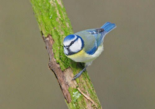 Blue Tit (Cyanistes caeruleus) on a Branch