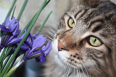 Taz with Flower's (voodoo_child_91) Tags: flowers blue iris brown cute yellow cat canon feline tabby maine adorable kitty taz whiskers coon mainecoon sniff