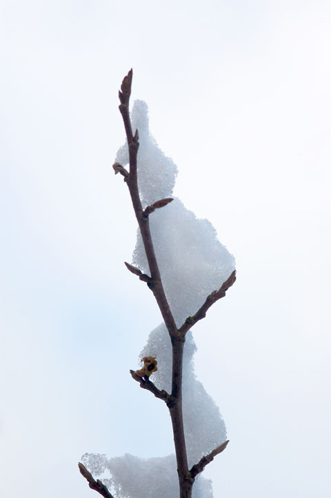 Snow and Tree Buds