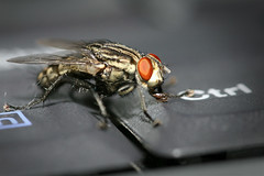 Ctrl+Fly (+/-musa [i shoot, u paint]) Tags: macro insect fly keyboard laptop 580ex sigma105mm
