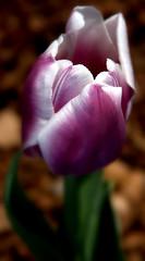 Tulip III (Tedi17) Tags: pink white green nature beauty canon rebel dallas flora purple arboretum tulip lovely dallasarboretum floweres xti