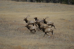 2 Running of the Bulls... (dfshunt44 (AKA Elkaholic)) Tags: monster southdakota blackhills interestingness shed bulls antlers elk mammals rapidcity sheds antler shedhunting monsterbulls