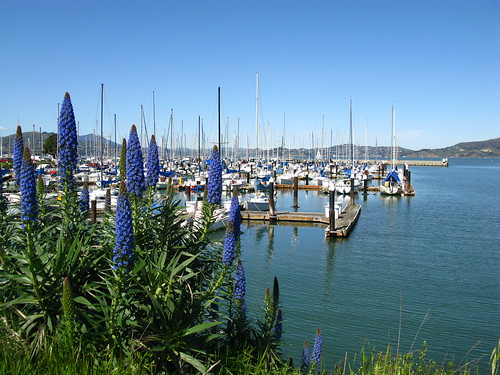 Fort Mason with Echium fastuosum syn. E. candicans
