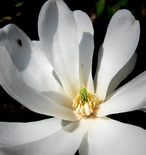 Eglinton Camellia  30bb2Apr09