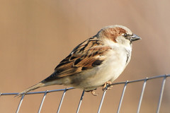House Sparrow (Eric E Haas) Tags: birds maryland passerdomesticus millersville housesparrows kinderfarmpark annearundelcounty sigma170500mm sonydslra700