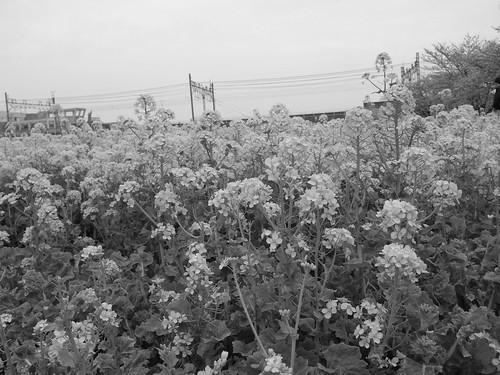 菜の花@モノクロ撮影
