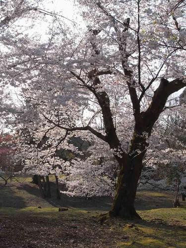 09-04-05【桜】@奈良公園-04