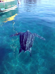 Leatherback in the Lake Worth Lagoon
