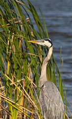 San Bernard NWR - Great Blue Heron