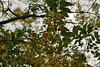kanikonna, kerala (prasanthabythomas) Tags: flower kerala kanikonna