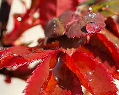 Wet Red Dawn (G.D. Jewell II) Tags: red plants plant color macro tree art nature water colors beauty leaves rain closeup digital yard wow garden outside outdoors photography photo leaf interestingness interesting flora colorful pretty dof close natural image photos pennsylvania depthoffield dewdrop photograph neat morningdew jewell dews chambersburg redmood natureview expore flickrstars heartawards heartaward heartsawardgroup crazyaboutnature splendidcaptureofdewdrops universeofnature gdjewell2nd gdjewellii jewellart georgejewell