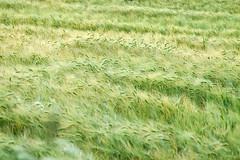 Getreidefeld / Grain field (Cereal-Club) Tags: summer green nature barley corn grain feld korn acker getreide gerste ähren getreidefeld gerstenfeld cerealclub