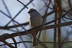 Chipping sparrow (Henry McLin) Tags: sparrow chipping