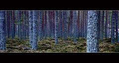 Caledonian Sentinels (dougchinnery.com) Tags: autumn trees panorama copyright vertical forest woodland scotland pano border scottish parallel caledonia conifers caledonian cairngorm cairngorms thefatcat44 dougchinnery