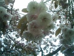 IMAG0177 (Ian Faz) Tags: flowers plants tress nessgardens