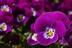 Stiefmütterchen (rab36) Tags: flower color macro spring purple blossom magenta violet blume karlsruhe blüte viola garten frühling violett stiefmütterchen catchycolorspurple sigmalenses catchycolorsviolet sigma70mmf28exdg