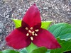 Trillium are blooming