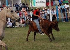"09-05-01 0640041 (Lea Zanon /antes""PELADITO"") Tags: palenque toro entrerios vaca galope sortija novillo caidas gineteada ginete rebenque gineteadas porraso"
