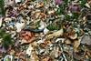 Giant Millipede (wallygrom) Tags: africa madagascar millipede millipedes giantmillipede giantafricanmillipede ankarana diegosuarez antsiranana archispirostreptusgigas chongololo ankarananationalpark