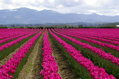 La Conner Tulip Field (rldock) Tags: la conner washingtontulipfieldpurple