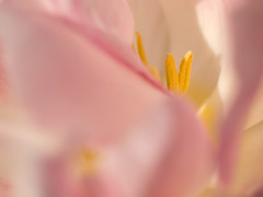 Inside the tulip (mistermacrophotos) Tags: flower macro up garden denmark close tulip danmark lnholt