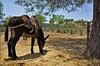♫♪ Allá en el Rancho Grande... ♪♫ (uteart) Tags: ranch cactus mexico countryside donkey explore rancho saddled agaveazul utehagen uteart alláenelranchogrande explore051109