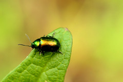 bejewelled (Cat Johnson) Tags: friends macro green bug gold leaf nikon bokeh beetle d200 emerald bejewelled nikond200 nikkormicro platinumheartaward somekindofbeetle