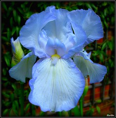 Iris Blues (☜✿☞ Bo ☜✿☞) Tags: blue iris flower macro garden flickr explore beardediris flickrexplore flickrsbest canong9