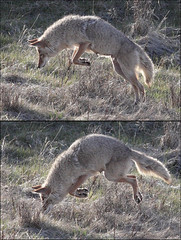 Boinnggg!!! (gainesp2003) Tags: coyote jump wildlife yellowstone wyoming pounce leap hunt canon100400mm canon50d